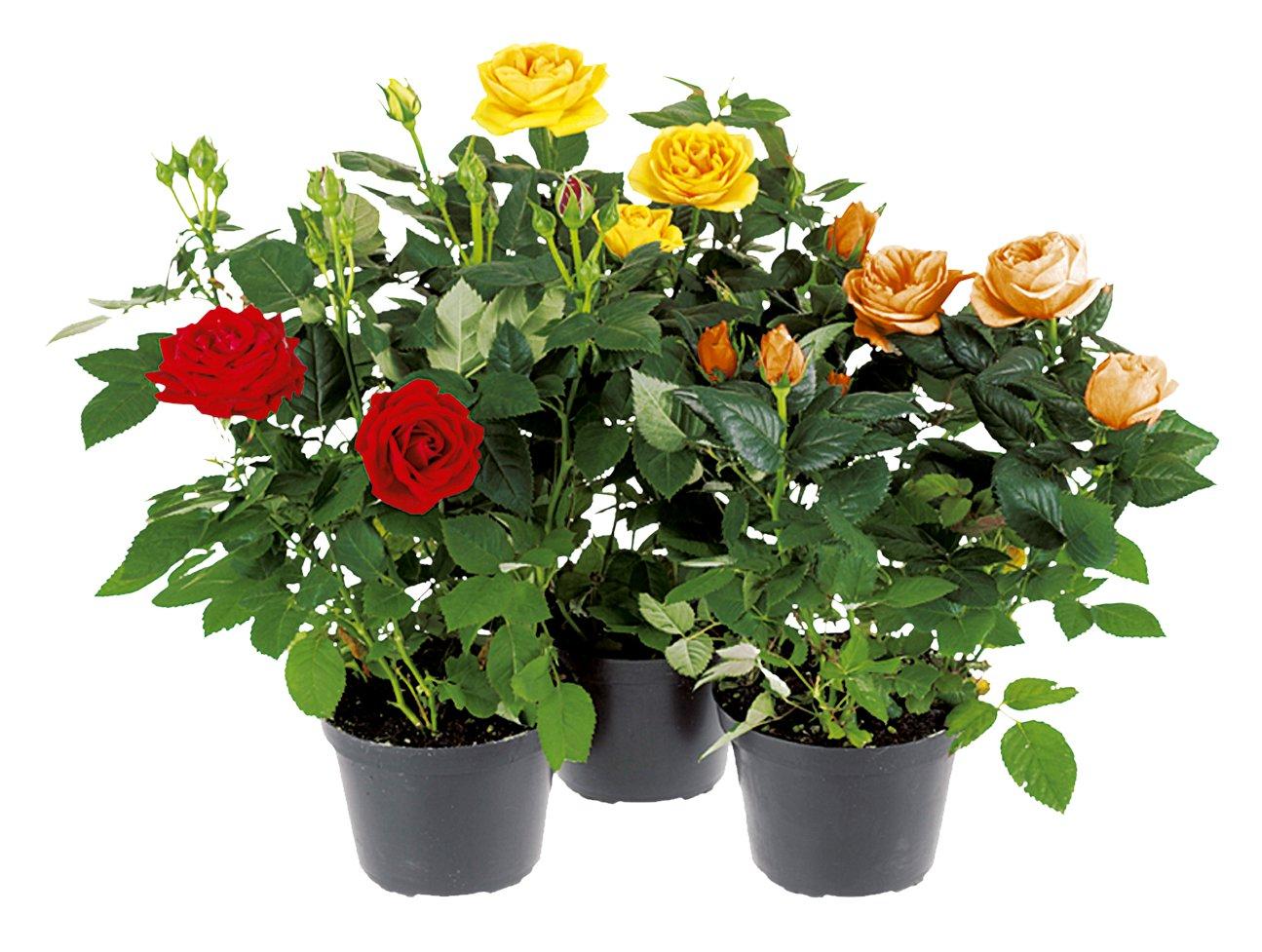 Olanda floricoltura pigazzi for Roselline in vaso